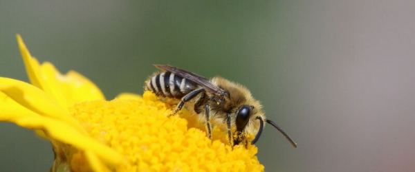 Seidenbiene (Colletes spec.)